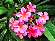 Kauai Plumeria, Grateful for this beautiful flower | Hawaii Pictures of the Day