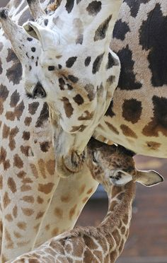 Baby Giraffe with Mom!