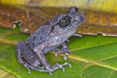 Kajang Slender Litter Frog Leptolalax kajangensis (Megophryidae) is a rare and Vulnerable species endemic to Malaysia and only known with... frog