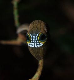 The Pink Underwing Moth: Skull-Faced Caterpillar of Australia's Rainforest ~ The Ark In Space
