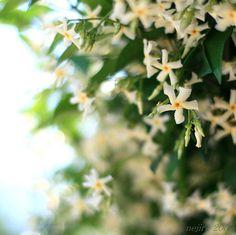 Trachelospermum jasminoides -- jasmine