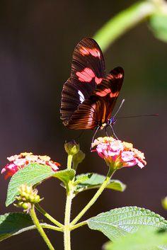 /;Butterfly