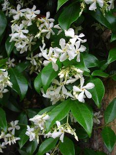~Trachelospermum jasminoides