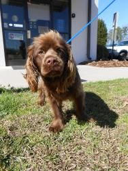 52955 is an #adoptable Sussex Spaniel Dog in #Salisbury, #NCAROLINA. AVAILABLE FOR ADOPTION 02/16 - All animals at this shelter are #URGENT!!! The minimal cost for an adoption at the shelter is $70.00 which is a...