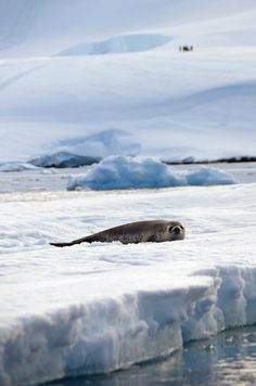 A Weddell Seal rests on an ice floe Neko Harbour, Antarctica (by Lin Pernille Photography)