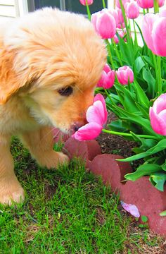 Puppy with Tulips smell, rose, anim, little puppies, golden retrievers, ador, tulips, dog, flowers garden