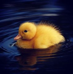 I had a baby duck when in college.  The little sweetie swam in the tub after he grew too big for the sink.  Sadly, he went to the farm when his quack got spoof loud.  He had a good life there.