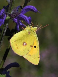 "Clouded Yellow.Colias is a genus of butterflies in the family Pieridae. They are usually called clouded yellows; the North American name ""sulphurs"" is elsewhere used for Coliadinae in general"