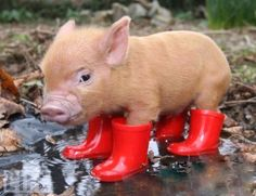 miniature pig wearing rain boots @Sara Eriksson