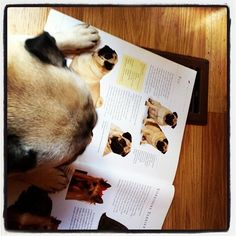 """bobdoom:  """"Look at these skinny bitches and the impossible standards they create for girls like me."""" lights, anim, pug life, pugs, light read, pug read"""