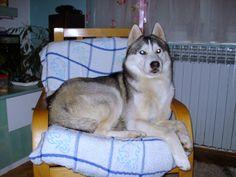 Siberian Husky Neo, 23 months old.