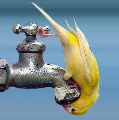 Don't worry I have just been exercising now I am a thirsty birdy, this is an excercise in its self. faucet, smart cookie, funny animals, little birds, pet, bird baths, yellow, funny animal photos, drinking water