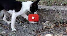Aggressive Turtle VS a little Boston Terrier Puppy! :) Watch! ► http://www.bterrier.com/?p=5659