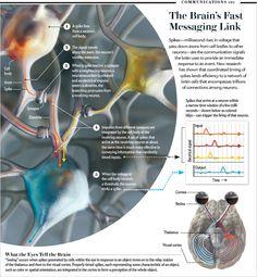 Box 1 : The Language of the Brain : Scientific American Emily Cooper