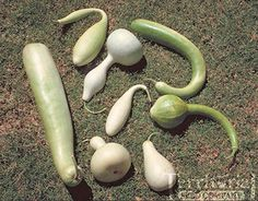 love these - ornamental gourds