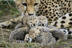 Cheetah cubs.