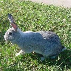 Giant Chinchilla Rabbit