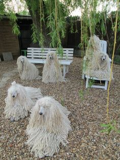 Corded Poodles