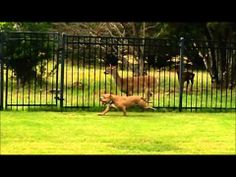 Dances with deer ~ Zeke was a pit bull rescue, but ever since his new family brought him home, he seemed lackluster. That all changed when he met a deer along the fence and decided to race it. http://fox17.com/news/features/around-the-web/stories/dog-races-deer-wztv.shtml#.U40NzvldVlF