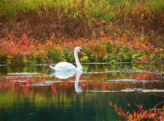 Swan in Autumn Splendor