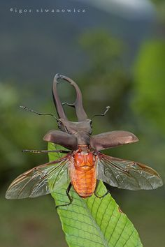 "Stag Beetle takeoff by ""Blepharopsis"" on deviantart."