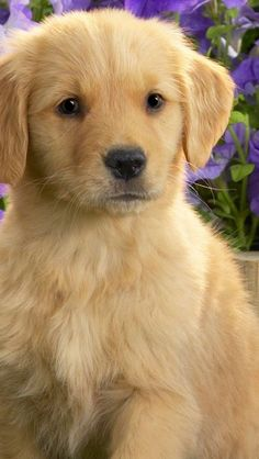 Look at this adorable Golden Retriever puppy. Aren't they the cutest puppies in the world? Do you love puppies? @PetPremium Pet Insurance Pet Insurance Pet Insurance Pet Insurance