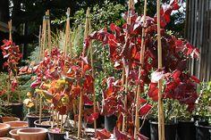 Vitis 'Roger's Red' - Annual Fall Plant Sale at the Santa Barbara Botanic Garden www.sbbg.org  Santa Barbara Botanic Garden Image Library