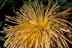 spider mums chrysanthemum   Part II: Brookside Garden Chrysanthemum Festival!
