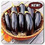 Organic Diamond Eggplant - We were so excited to discover this variety in our trials fields and it has really proven itself a standout for several seasons now. This OP eggplant is a very prolific and early producer. The slender, attractive dark purple fruit hang in clusters for easy picking. Diamond has a mild flavor and lacks bitterness as well as having a fine, creamy texture. This is the one to grow if you want eggplants in a short season.