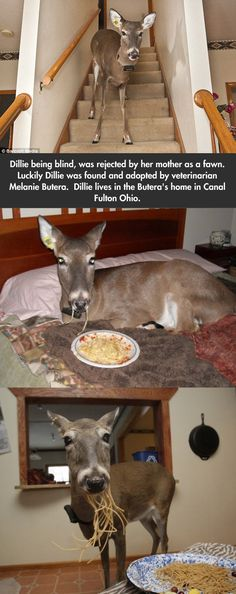 Dillie The Blind Spaghetti Loving White Tail Deer live with people indoors. Lordy! What a poop-a-scoop you'd need for those!