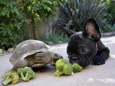 u eat broccoli? eating habits, turtl, anim, bulldog puppies, french bulldogs, tortois, green stuff, friend, funny people