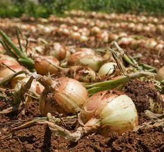 love growing onions