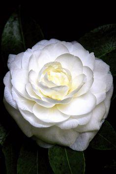 Camellia alba - Flickr - Photo Sharing!