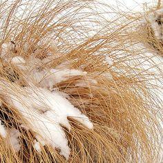 Greatness of Grass winter garden, dwarf fountain, fountain grass