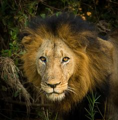 Makalali Pride by Hamish Mitchell on 500px
