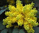 Mahonia aquifolium - said to be a good source of pollen for bees.