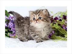 teacup persian cats = <3