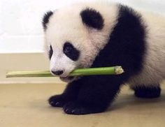 baby pandas, animals, funni stuff, bamboo, stick, puppi, lunch, anim panda, panda bear