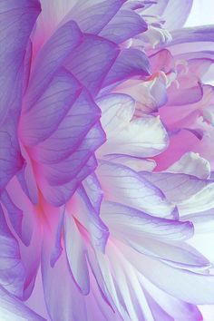 pastel, lotus, shades of purple, colors, purple flowers, violet, flower photos, beauty, dahlia