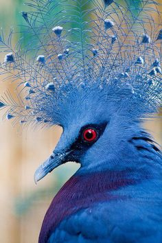 Victoria-Crowned pigeon. Nature is a great way of finding colour ideas.