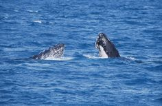 Synchronised spy hopping snapped by Lee Mylne   Humpback Whale Watching in the calm waters on the lee side of Fraser Island #whalesherveybay #fraserisland #queensland #australia #humpbackwhales #whalewatching http://www.whalewatch.com.au/ www.queensland.com/whales