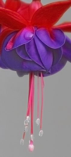 ~~on tiptoe ~ fuchsia by chris.x.x..~~