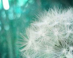 Dandelion Photograph, 8x10 Fine Art Nature Photography Print. Affordable. Ocean White Seeds Beautiful.