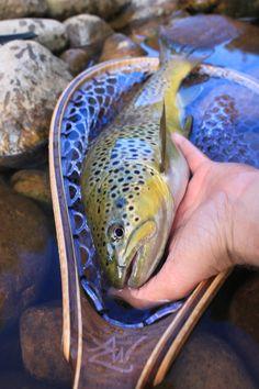Brown Trout love the Sierra Net
