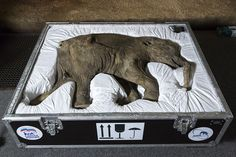 """According to the Guardian, this preserved baby mammoth was discovered in the Yamal Peninsula in Russia in 2007 by reindeer herder Yuri Khudi. Khudi and his sons found the mammoth while searching for wood along the frozen Yuribei River. The mammoth was named after Khudi's wife, Lyuba, which is Russian for """"love."""" amazer, curious, bean, fossil, eleph, curioso, display, factor, heffalump"""