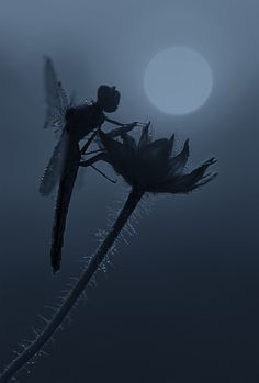this dragonfly looks like a fairy in silhouette!