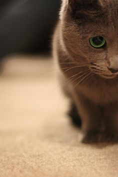 russian blue cat with a green eye