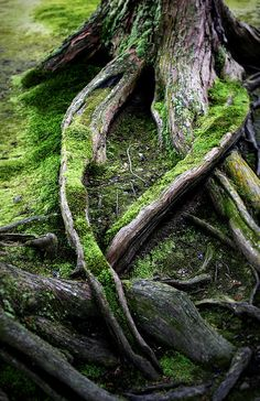 Mossy tree roots by Anthony Brown Photography on Flickr.