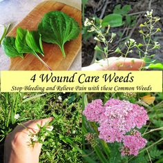 4 Wound Care Weeds - Stop Bleeding and Relieve Pain with these Weeds