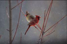 Cardinal bird, backyard, cardinals